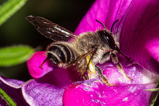 Bee on Lathyrus latifolius