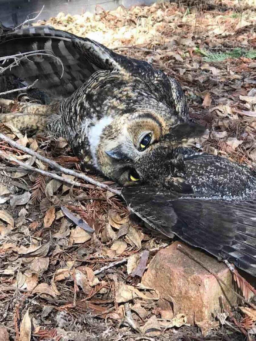 A dead great-horned owl.