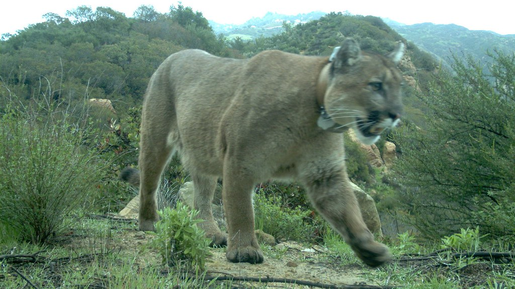 photo of mountain lion p-47