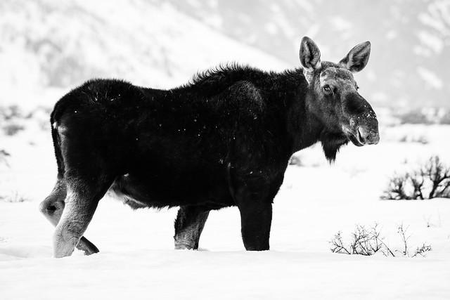 Moose at Antelope Flats, Grand Teton National Park. March, 2019.