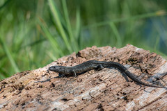 Melanic common lizard - Zootoca vivipara - Nemours, France