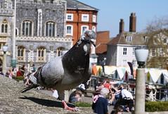 Pigeon Poser!