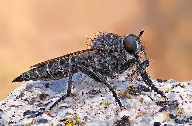 La merienda - The snack of the robber fly...