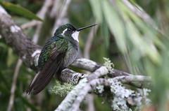 White-throated Mountain-gem - Lampornis castaneoventris -Savegre Valley, San José, Costa Rica - June 11, 2019