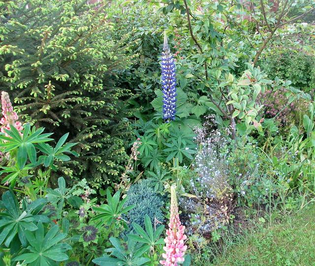my garden, Lupins