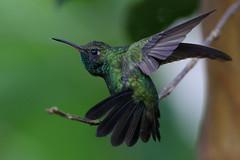 Zumbador Esmeralda, Chlorostilbon swainsonii, Hispaniolan Emerald