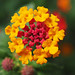 A yellow and red flower