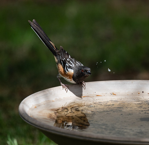 spotted_towhee_bird_bath-20190625-101