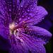 Purple rain by OfficialTibalidge