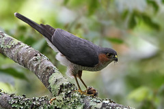 Guaraguaíto de Sierra, Halcón de Bosque (Accipiter striatus), Sharp Shinned Hawk
