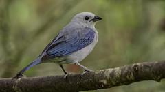 Thraupis episcopus (Blue-gray Tanager / Azulejo)
