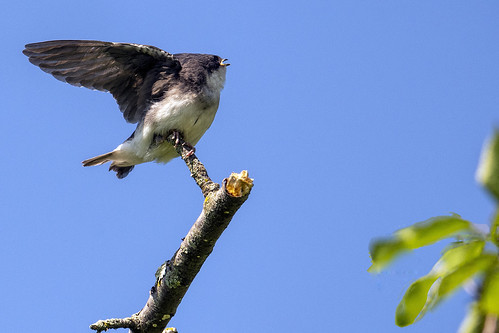 nj.nn.tree swallow.baby wings.2121