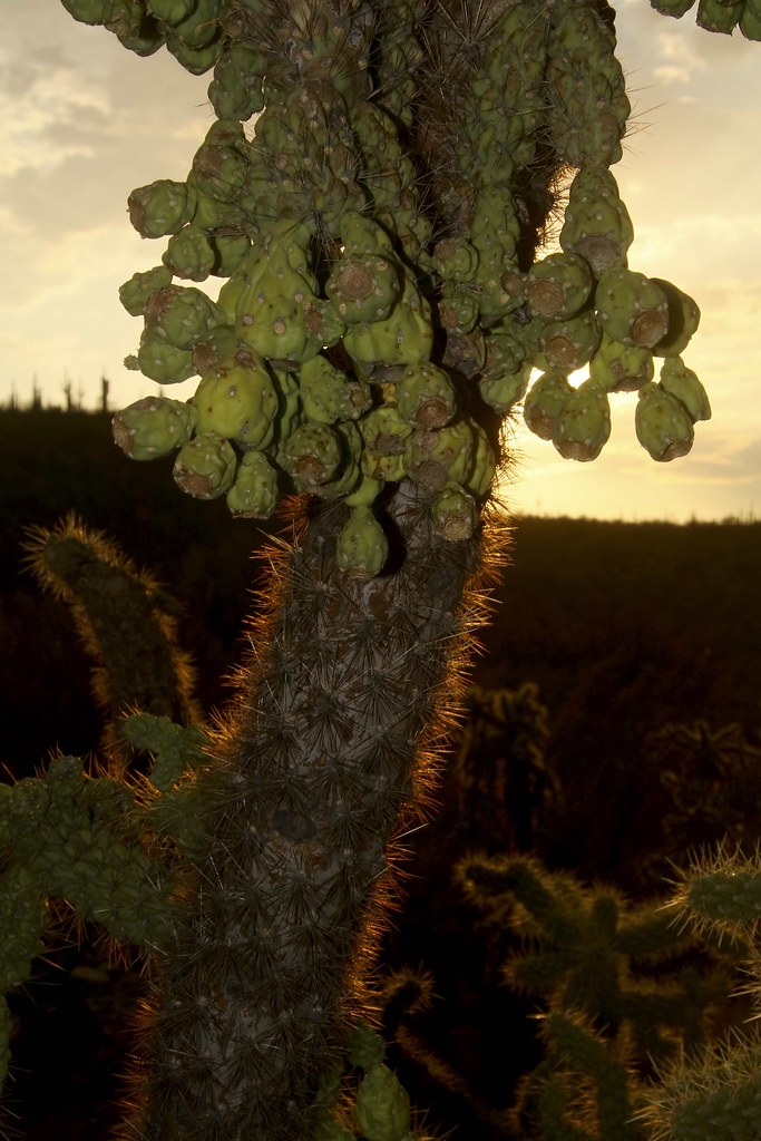 Jumping Cholla Cactus - love those spines
