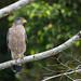 Crested Serpent Eagle - Spilornis cheela spilogaster