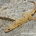 Spotted House Gecko (Hemidactylus parvimaculatus) DSC_2455