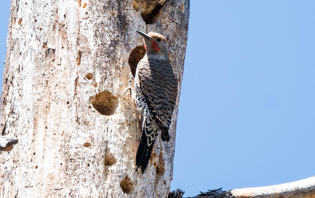 Flicker nest (1 of 1)