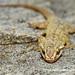 Spotted House Gecko (Hemidactylus parvimaculatus) DSC_2456