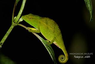 Glawi chameleon (Calumma glawi) - 20190423224723_IMG_8570-01