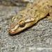 Spotted House Gecko (Hemidactylus parvimaculatus) DSC_2454