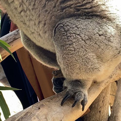 Huge claws to grip with - Koala