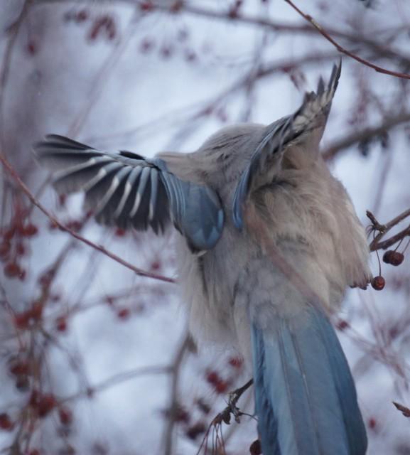 Azure-winged Magpie, Cyanopica cyanus, Голубая сорока