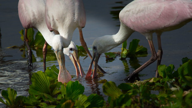 Young Roseate Spoonbills