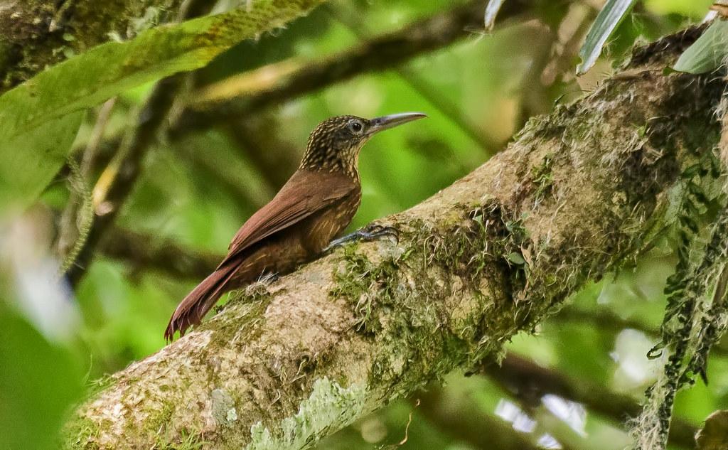 Imagen de una de las aves del Quindio: Trepador silbador (Xiphorynchus guttatus)