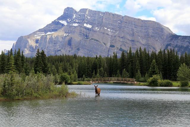 Elk at Cascade Ponds