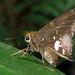 Epargyreus socus