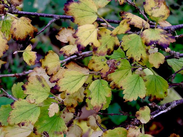 Ribes alpinum L. 1753 (GROSSULARIACEAE).