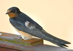 Hirundo rustica -  Hirundinidae