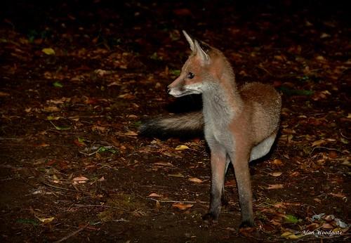 Red Fox (cub) - Buckinghamshire
