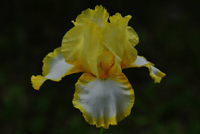 Tall Bearded Iris (Iris Eastertime)