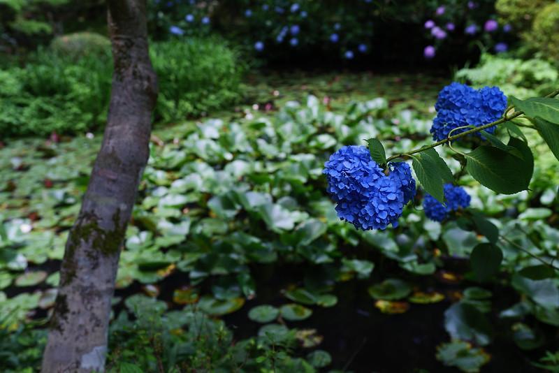 Hydrangea (岩船寺)