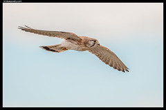 Nankeen Kestrel: Female