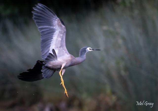 White-faced-heron-landing_DSC3763