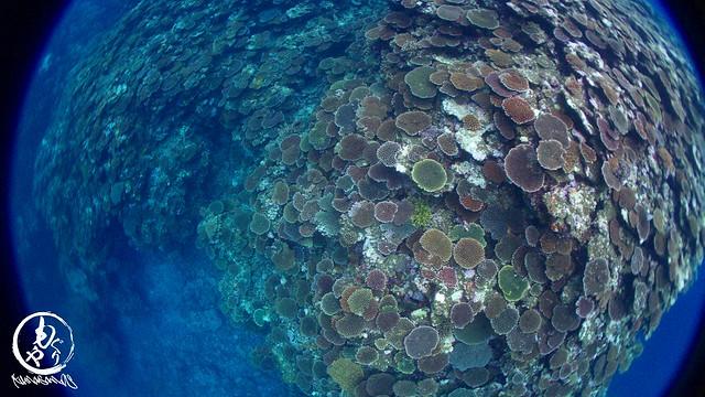 サンゴの段々畑