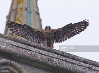 juvenile Peregrine | by Gary Chalker, Thanks for over 4,000,000. views