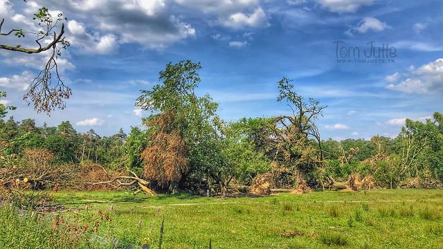 Fallen trees by Tornado, Carolinahoeve, Veluwe, De Steeg, Netherlands - 2724