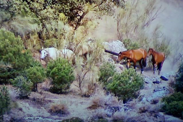 Spanische Kartäuser Pferde , Spanish Carthusian horses, effecte,  (serie) , 76766/11648