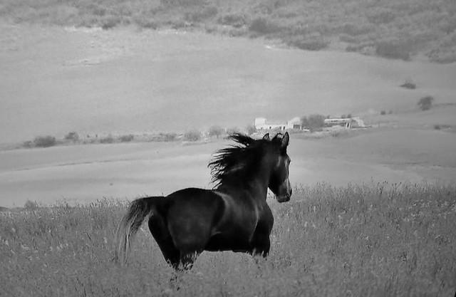 Spanische Kartäuser Pferde , Spanish Carthusian horses, effecte,  (serie) , 76767/11649