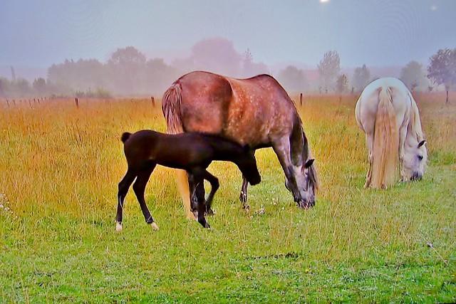 Spanische Kartäuser Pferde , Spanish Carthusian horses, effecte,  (serie) , 76769/11651