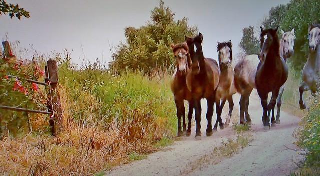 Spanische Kartäuser Pferde , Spanish Carthusian horses, effecte,  (serie) , 76765/11647