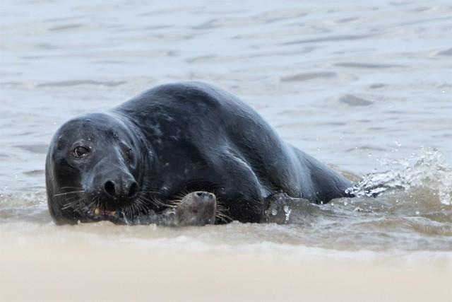 Grey Seal Halichoerus grypus d 1 of 4 Photos