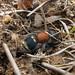 Tropidotilla - Velvet ant