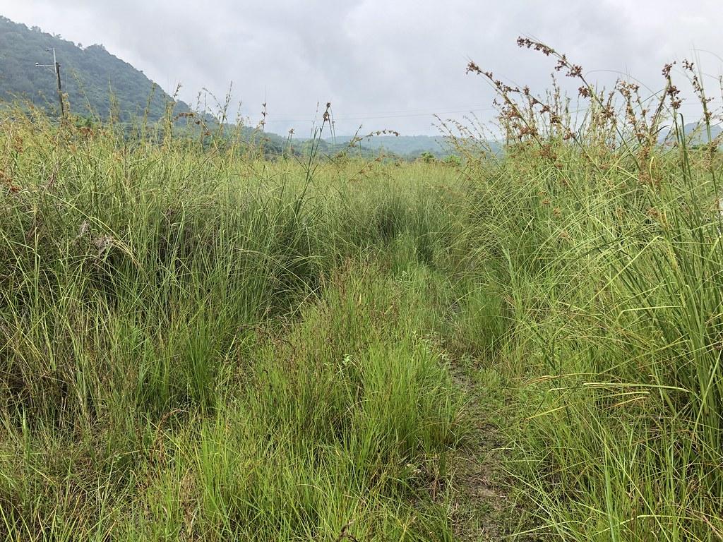克拉莎(兩旁較高的植株)與赤箭莎(中央較低矮的植物)構築富興濕地與其它濕地不同而經典的畫面。攝影:廖靜蕙