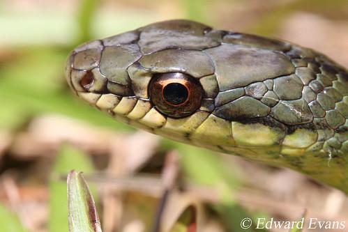 Striped lizard-eating snake (Mastigodryas dorsalis)