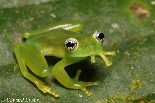 Spiny glass frog (Teratohyla spinosa)