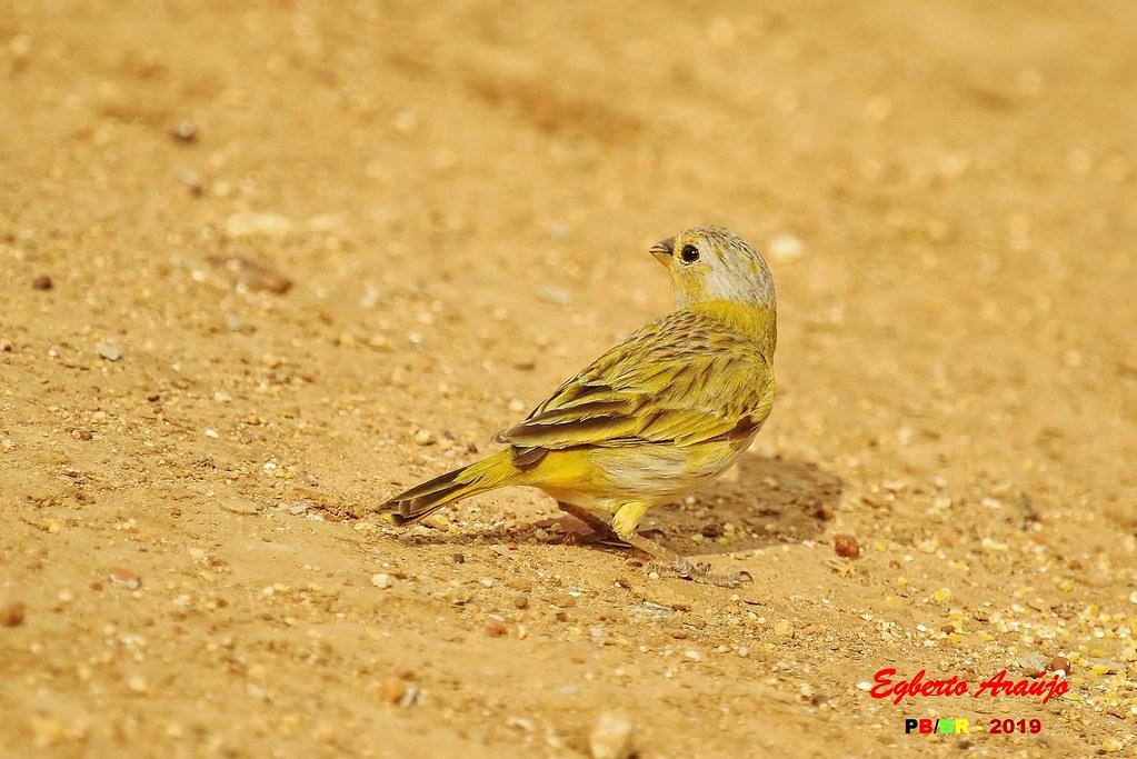 Canário-da-terra / Saffron Finch / Sicalis flaveola (4)
