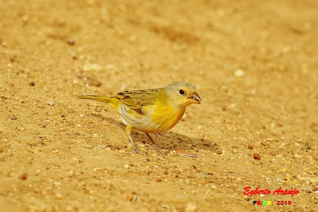 Canário-da-terra / Saffron Finch / Sicalis flaveola (3)